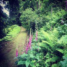 Foxgloves lining the path to spring gardens. #flowers #perennial #gardens #garden #woodland #wood #walk #walks #dogwalking #visiting #castle
