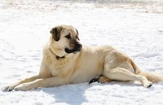 Buddy, our almost 3-year old Anatolian Shepherd. Happiest when working as a livestock guardian.