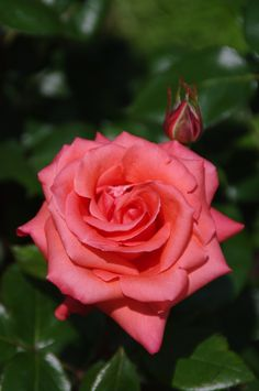 Rose by 幻視人