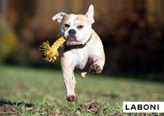 Leo Löwe - Hochwertiges Hundespielzeug mit Kultcharakter von LABONI Dog Toys, Pitbulls, Pets, Animals, Design, Leo Lion, Animales, Animaux, Pitt Bulls