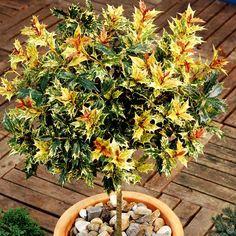 Szczepiony osmanthus Goshiki - 1 drzewo  Standard Osmanthus heterophyllus Goshiki
