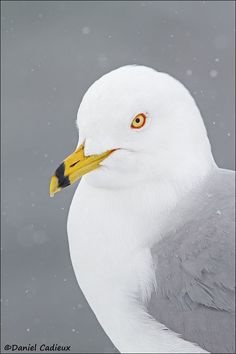 Ring-billed Gull. by Daniel Cadieux on 500px