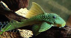 fishing yakuza 0 tips Tropical Freshwater Fish, Tropical Fish Aquarium, Freshwater Aquarium Fish, Fish Aquariums, Pleco Fish, Plecostomus, Betta Tank, Salt Water Fish, Cool Fish