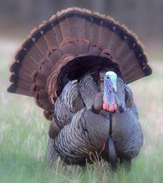 beautiful turkey picture