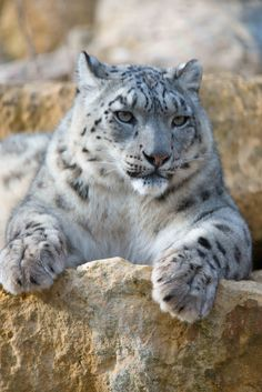 Clouded Snow Leopard Laying on a Ledge of Rock.