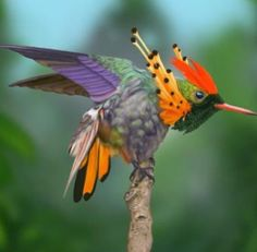 The tufted coquette is a tiny hummingbird that breeds in eastern Venezuela, Trinidad, Guiana, and northern Brazil.