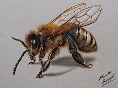 Bee Realistic Colored Pencil Drawings by Marcello Barenghi 3d Drawings, Realistic Drawings, Colorful Drawings, Pencil Drawings, Honey Bee Drawing, Honey Bee Tattoo, Desenho Tattoo, Bee Art, Insect Art