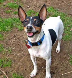 Any Rat Terrier such as Katie by Cheyenne should spawn a lot of activity in the Rat Terriers for sale in the Dogs classifieds section of GotPetsOnline. Description from gotpetsonline.com. I searched for this on bing.com/images