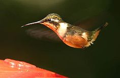 Purple-throated woodstar - Wikipedia, the free encyclopedia