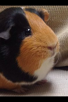 My Rosie looks just like  this guinea pig
