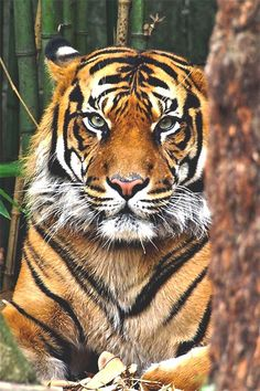 Tiger sees u Pretty Cats, Beautiful Cats, Animals Beautiful, Animals Of The World, Animals And Pets, Cute Animals, Tiger Artwork, Tiger Love, Cat Species