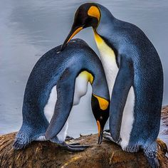 Photograph by @paulnicklen // A mating pair of king penguins tenderly preen one another on the island of South Georgia, Antarctica.  Please follow me on @paulnicklen to see a valley with over 300,000 king penguins.  For @sea_legacy  #penguin #kingpenguin #antarctica  #climatechange  #202020 #wildlife #gratitude #explore #nature #smile #love #beauty #adventure #travel @natgeocreative @thephotosociety #instagood #tbt #follow #followme #photooftheday #happy #tagforlikes #beautiful #like…