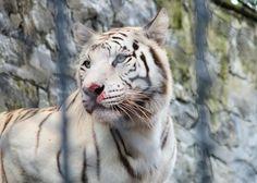 Tigre Blanco - Santa Cruz Zoo, Colombia