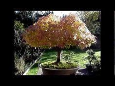 First Fall Autumn Colours of Bonsai Trees Autumn Colours, Bonsai Trees, Fall, Videos, Diy, Autumn, Fall Season, Bricolage, Bonsai