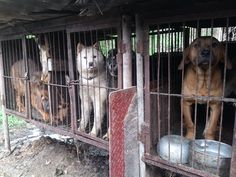 PLEASE SHARE AND HELP THEM RAISE FUNDS TO RESCUE THESE POOR DOGS!!!   Help Rescue Dogs From Korean Dog Meat Trade &Build Sanctuary | Pet Expenses - YouCaring