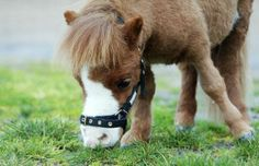 Really Funny Pictures of Horses   Meet Koda A dwarf horseVery Uniquen strange