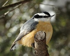 Red-breasted Nuthatch   Flickr - Photo Sharing!