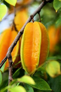 This is a Tropical Fruit :)) Fruit And Veg, Fruits And Vegetables, Fresh Fruit, Garden News, Banana Nut Muffins, Beautiful Fruits, Tropical Fruits, Delicious Fruit, Fruit Trees