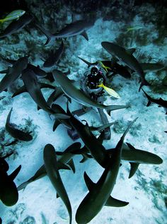 A frenzy of sharks