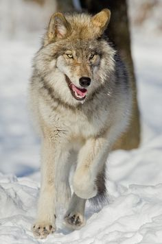 Running wolf.. beautiful *-*