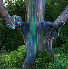 Rainbow Eucalyptus- Patches of outer bark are shed annually at different times, showing a bright green inner bark. then darkens and matures to give blue, purple, orange and maroon.