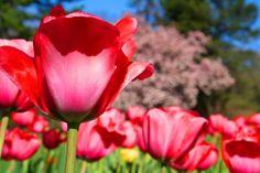 http://americanfolklife.blogspot.com/ I love tulips <3