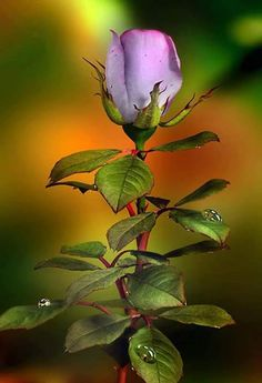 Amazing Flowers, Love Flowers, Beautiful Roses, Gorgeous Body, Ronsard Rose, Art Asiatique, Rose Pictures, Love Rose, Purple Roses