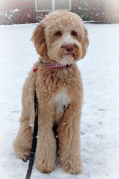 Coat Types, Colors, & Grooming - Goldendoodles of TN – Nashville ...