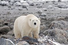 "Polar bear ""On the Rocks"". Photo by Claire Wilson at Seal River Heritage Lodge."