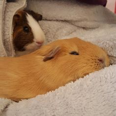 Guinea pigs love the softness of a dressing gown #guineas #guineapig #sleepingguinea #cuddles