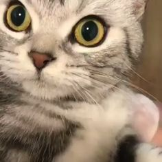 What is he saying? The Effective Pictures We Offer You About Cutest Baby Animals funny A quality pic Cute Baby Cats, Cute Cats And Kittens, Cute Funny Animals, Cute Baby Animals, I Love Cats, Crazy Cats, Kittens Cutest, Ragdoll Kittens, Tabby Cats