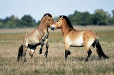 Two Przewalski wild horse stallions clash in the Hortobagy National Park, in the puszta or Hungarian steppe of Hortobagy, 183 km east of Budapest, Hungary. The Przewalski or Asian wild horse is an ancient and nearly extinct species originating in Mongolia.