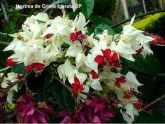 Clerodendro (Clerodendon x speciosum )Nomes Populares :  Clerodendro, coração-sangrento, lágrima de cristo vermelha