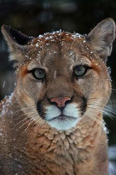 Cougar in the snow❤YmM❤