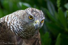 Hawk   Flickr - Photo Sharing!