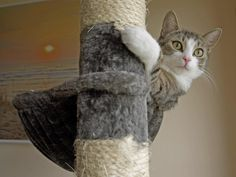 """Cats must scratch; it's normal and necessary to leave paw scent marks, trim/sharpen their claws plus to stretch and exercise. It will happen so use your cat's cues to train them to only scratch where you want them to. Put a scratching post that matches what they're destroying (vertical/horizontal, rough/smooth, hard/soft) next to that item. Remember, scent marks are their """"I'm Here"""" sign so they need their scratches to be prominent, therefore an out-of-the-way place like the basement won't…"""