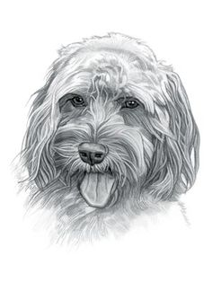 Find interesting facts and information about the Cockapoo breed. Discover facts about the history, characteristics and temperament of the Cockapoo breed. Description of the Cockapoo with details of height, weight, diet and grooming. Animal Sketches, Animal Drawings, Art Drawings, Dog Sketches, Labradoodle, Cockapoo Dog, Tibetan Terrier, Dog Paintings, Dog Tattoos