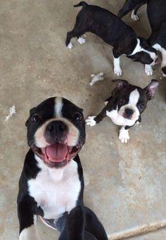 Happy Babies | Boston Terrier Friendzy