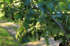 10 Medicinal Trees That Cure Virtually Everything:::alder, apple, ash, beech…