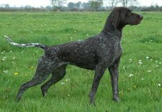 Duitse Staande Korthaar / German Shorthaired Pointer