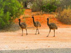 Emus, Monkey Mia, Western Australia