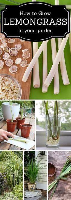 How to grow Lemongrass in a garden.