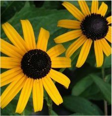 State Flower: Black-eyed Susan, with black and gold coloring and a blossom of 13 petal.