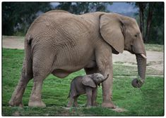 4 day old baby elephant