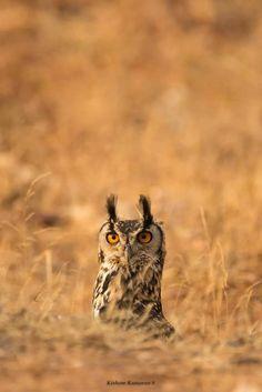 An Indian Eagle Owl has a look around in Tamil Nadu, India. Photo thanks to Kishore Kumaran [fb.com/KishoreKumaran]. More of these birds here --> OwlPag.es/IndianEagleOwl