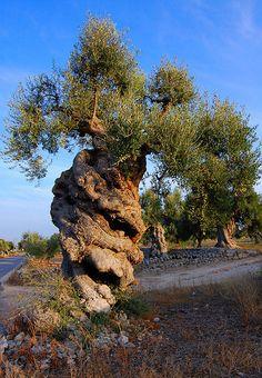 Italian tree #TuscanyAgriturismoGiratola