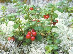 Cranberry foraging, recipes and botanical history Greenland Food, Finnish Cuisine, Allotment Gardening, Berry Picking, Red Fruit, Permaculture, Botany, Flora, Seeds