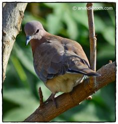 Laughing Dove from Back #dove #laughingdove #palmdove