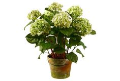 green hydrangeas in aged clay pot