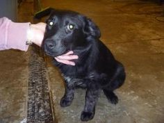 Payton is an adoptable Black Labrador Retriever Dog in Richland Center, WI. The adoption prices of RARs dogs are: Puppies: $150 Fixed Adult dogs: $100-$150 Unfixed adult dogs: $25-$50 RAR will require...